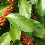zelena-kava-strom