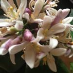 neroli-květinová voda