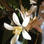 květinová-voda-květ-neroli