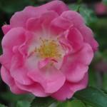 květinová-voda-z-růže
