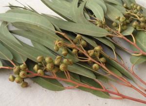 eukalyptus-globulus