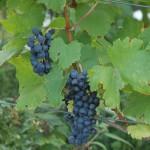 Víno a wellness – víno Uhudler –  wellness zážitky a gastronomie, jižní Burgenland – lákavá spa destinace