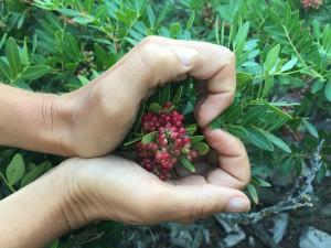 pistacia lentiscus lentyšek wellness byliny