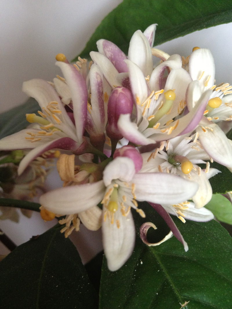 aroma-citrus-wellness-koupe