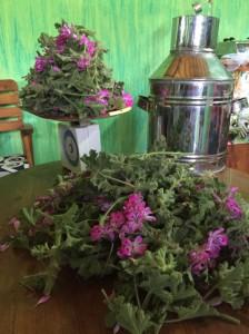 destilace oleje aromaterapie oleje (1)