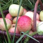 Alergie na čerstvá jablka? Existuje řešení.