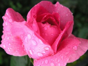 ruze-aroma-esence