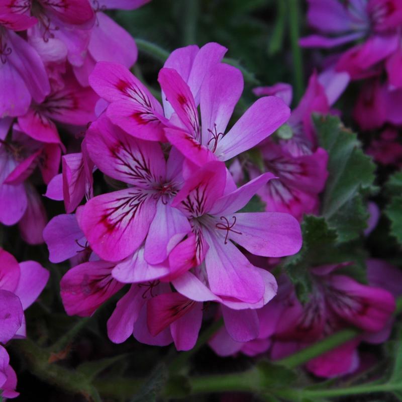 bylinky wellness geranium tinktura