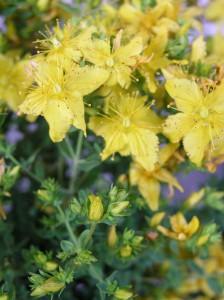 macerat olej bylinky wellness (1)