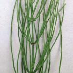 Přeslička - bylinka krásy a zdraví - vlasy, kůže, nehty a klouby