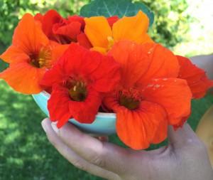 lichorerisnice kvety jedle bylinky wellness (4)